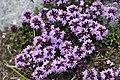 Thymus serpyllum - img 33883.jpg