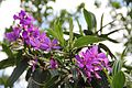 Tibouchina Granulosa (Purple Glory Tree) (28276153494).jpg