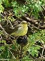 Tickell's Leaf Warbler (Phylloscopus affinis) (44432811850).jpg
