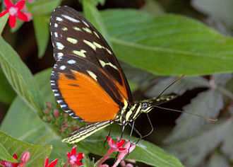 Heliconius hecale - Ventral view