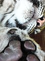 Tiger Cub (3293874371).jpg