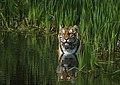 Tigerwater.jpg