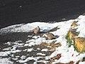 Tortolitas mexicanas (Columbina inca) en la calle nevada.jpg
