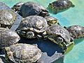 Tortugas (15378229408) (3).jpg