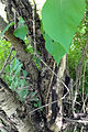 Toxicodendron radicans 03134.jpg