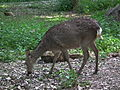 Trächtige Sikahirsch-Kuh Wildpark Rheingönheim.JPG