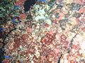 Trachinops brauni Bluline hulafish PC068912.JPG