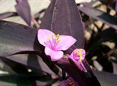 Tradescantia pallida Purpurea2.jpg