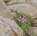 Trailing Mauve Daisies (Dimorphotheca jucunda) clump between rocks ... (32533647285).jpg