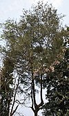 Tall conifer with dark green needles and thin branches and trunk