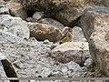 Tree Pipit (Anthus trivialis) (32044470774).jpg