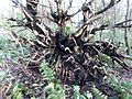 Tree root bole, Spiers, Beith.JPG