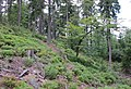 Tremsin, forest (1).jpg