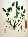 Trifolium incarnatum — Flora Batava — Volume v20.jpg