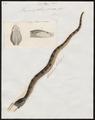Trigonocephalus jararaca - 1700-1880 - Print - Iconographia Zoologica - Special Collections University of Amsterdam - UBA01 IZ11700071.tif
