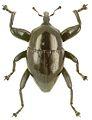 Trigonopterus durus holotype - ZooKeys-280-001-g025.jpg