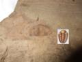 Trimerocephalus and diagram.png