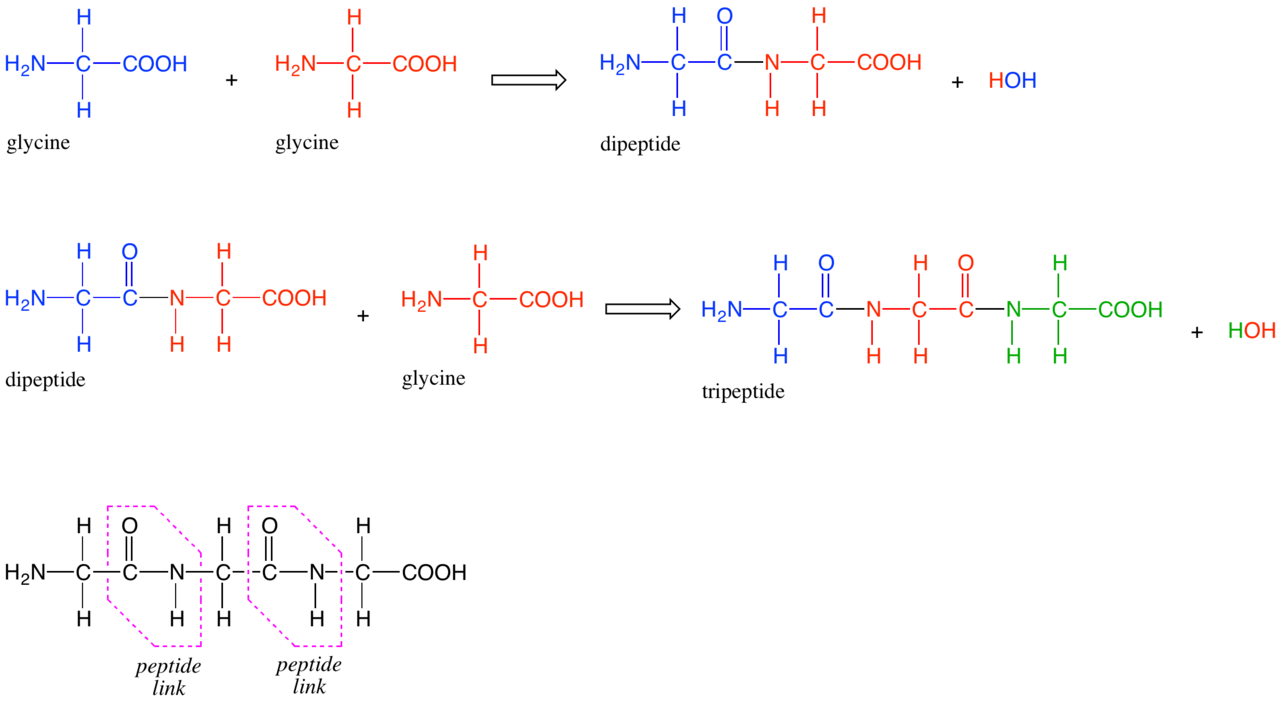 dipeptide sequence The primary structure (or sequence) of a peptide or protein is always written starting with the amino terminus on the left and progressing towards the carboxy terminus.
