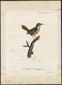 Troglodytes furvus - 1825-1834 - Print - Iconographia Zoologica - Special Collections University of Amsterdam - UBA01 IZ19200449.tif