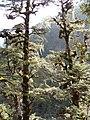 Tsuga dumosa Bhutan2.jpg