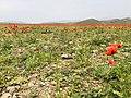 Tulip Fields in Armenia E6183 03.jpg