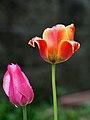 Tulips (253773935).jpeg