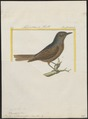 Turdus solitarius - 1700-1880 - Print - Iconographia Zoologica - Special Collections University of Amsterdam - UBA01 IZ16300313.tif