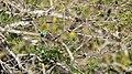Turquoise-browed Motmot, Costa Rica, January 2018 (40913202592).jpg