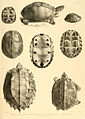Turtle sketches of British India (3).jpg