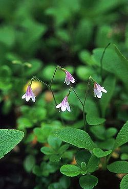 Twinflower.jpg