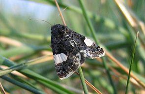 Ackerwinden-Trauereule (Tyta luctuosa)