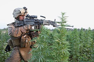 Cannabis in Afghanistan - US Marine in a cannabis field in Helmand province, 2010