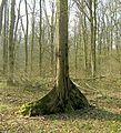 Ulmus Laevis Buttress root 111.jpg