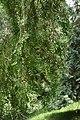 Ulmus parvifolia in Eastwoodhill Arboretum (4).jpg