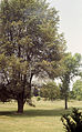 Ulmus x 'FREMONT' (pumila x rubra) 1954 and Ulmus pumila 'DROPMORE' 1954 The UW Madison Arboretum 1987.06.18.jpg