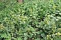 Undergrowth in woodland, near Burley - geograph.org.uk - 415312.jpg