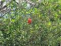 Unidentified tree and flower in Eswatini.jpg