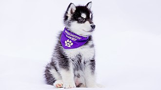Washington Huskies - Unveiling image for Dubs II, UW Mascot