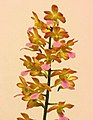 Vandachostylis Tariflor Venus -台南國際蘭展 Taiwan International Orchid Show- (40786453861).jpg