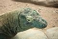Varanus komodoensis at the Denver Zoo-2012 03 12 0694.jpg