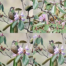 Variegated Laughing Thrush It2.jpg