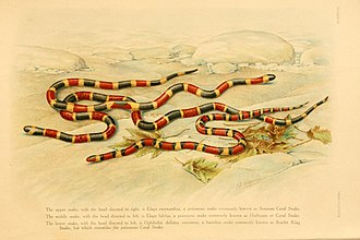 Mimicry in vertebrates - A venomous coral snake and some of its multiple nonvenomous mimic species