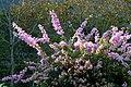 Veranera (Bougainvillea glabra) - Flickr - Alejandro Bayer (1).jpg