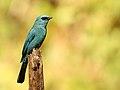Verditer Flycatcher, Ganeshgudi, Vimal Rajyaguru, 01.jpg