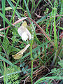Vicia lutea 04April2009 DehesaBoyalPuertollano.jpg