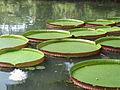 Victoria amazonica - Rio de Janeiro, botanical garden.JPG