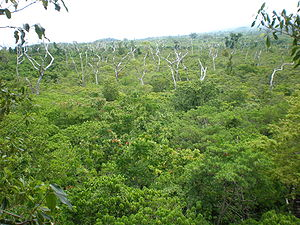 Monodominance - View from the top, Falealupo Rainforest canopy walkway, Savaii, Samoa 2009