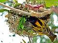 Village Weaver (Ploceus cucullatus) (21571360461).jpg