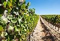 Vineyard, Estremoz, Portugal (PPL1-Corrected) julesvernex2.jpg