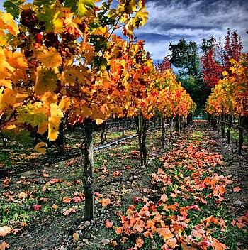 English: Vineyard in Napa Valley